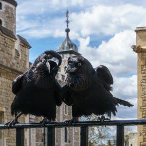 Los cuervos de la Torre de Londres: superstición real a la inglesa