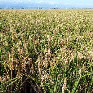 El delta del Ebro: tierra de arroz