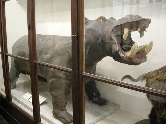 Hipopótamo del Museo de La Specola.