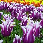 Tulipanes en el parque Keukenhof